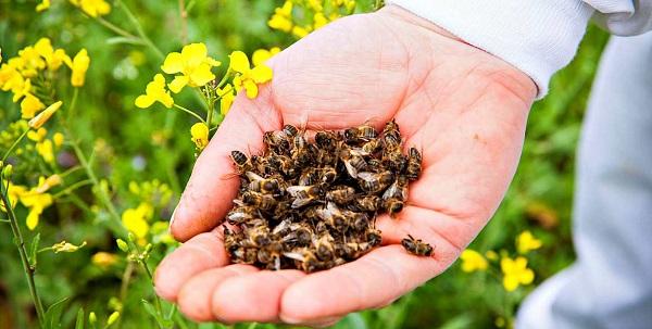 сбор пчелиного подмора